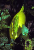 Skunk cabbage on swampy ground Royalty Free Stock Images
