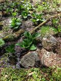 Skunk cabbage Royalty Free Stock Photography