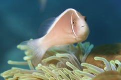Skunk clown fish Stock Photo