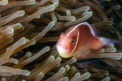 Skunk Clownfish in anemone Royalty Free Stock Image
