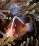 Skunk Clownfish. A Skunk Clownfish in an anemone on a tropical coral reef royalty free stock photos
