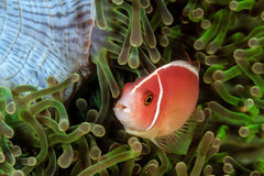 Skunk Clownfish. In a green anemone royalty free stock image