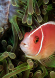 Skunk Clownfish. In a green anemone stock photo