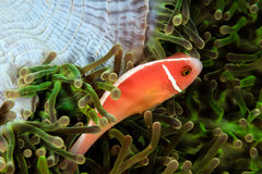 Skunk Clownfish. In a green anemone royalty free stock images