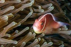 Skunk Clownfish i anemon Royaltyfri Bild