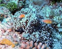 Skunk Clownfish med dominobrickaDamselfish royaltyfri foto