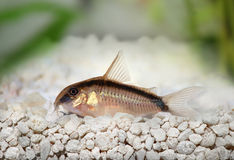Skunk cory Corydoras arcuatus catfish Royalty Free Stock Images