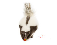 Skunk eating. Picture of a skunk eating a strawberry on a white background stock photo