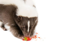 Skunk eating. Picture of a skunk eating a strawberry on a white background royalty free stock photo