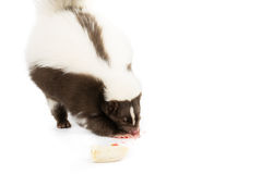 Skunk eating. Picture of a skunk eating a strawberry on a white background stock photography