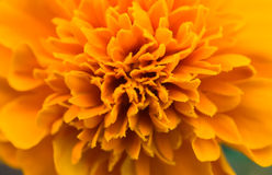 Skunk flower Orange Royalty Free Stock Photography