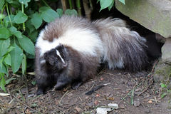 Skunk Royalty Free Stock Photos