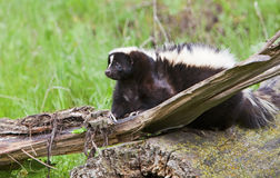 Striped skunk hiding on log royalty free stock photo