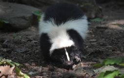 Black and White Skunk with Long Claws. Skunk with long claws visible as he takes a step Stock Images