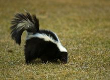 Skunk (Mephitis mephitis) Sniffs in the Grass Stock Image