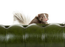 Skunk. Picture of a skunk looking over the back on a green chair Stock Image