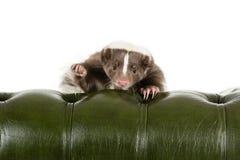 Skunk Stock Image