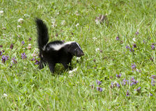 Skunk in Purple flowers Royalty Free Stock Photos