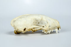 Skunk Skull Taxidermy Royalty Free Stock Images