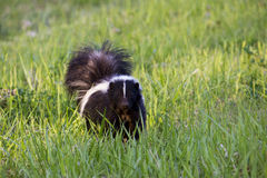 Skunk Stock Photo