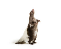 Skunk standing up. Picture of a skunk standing up on its hind legs on a white background Royalty Free Stock Photo