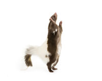 Skunk standing up. Picture of a skunk standing up on its hind legs on a white background stock photos