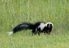 Skunk in tall grass. Royalty Free Stock Images