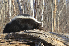 Skunk walking on log. A skunk with white stripes walking on log in forest Royalty Free Stock Photo