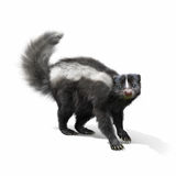 Skunk on a white background Stock Photos