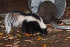 Skunk (Mephitis mphitis) Walks Past Raccoon (Procyon lotor) in T Stock Images