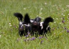 Skunken behandla som ett barn i en äng Arkivfoto
