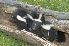 Skunks. Three baby skunks in hollow log Stock Photo