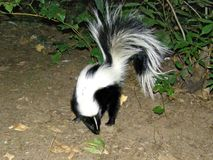 A Skunks Visits Camp in Oak Creek Canyon stock photos