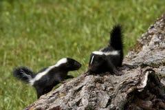 Skunksowi kumpel Fotografia Stock