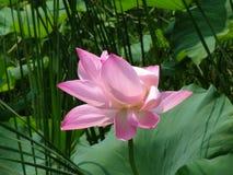 skup się różowe Fotografia Royalty Free