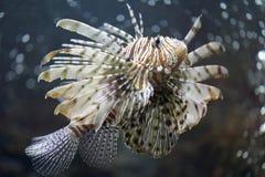 Skupia się Lionfish i niebezpieczny Obrazy Stock