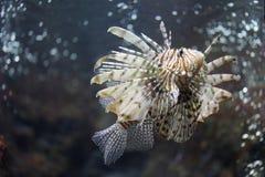 Skupia się Lionfish i niebezpieczny Fotografia Royalty Free