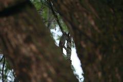 Skupia się na ptaku śpiewającym między dwa drzewnymi bagażnikami Zdjęcie Royalty Free