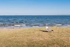 Skupia się na samotnego seagull ptasiej trwanie niedalekiej plaży z zamazanymi półdupkami Fotografia Royalty Free