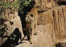 Skupiający się kuguar, Halny lew na krawędzi/ Zdjęcie Royalty Free