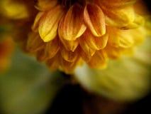 Skupiający się kwiat Fotografia Stock