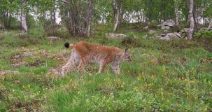 Skupiający się młody europejski rysia odprowadzenie w lesie lato wieczór zbiory wideo