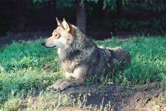 Skupiający się wilk w dzikim Obrazy Royalty Free