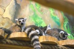 Skupisko ringowi ogoniaści lemury Zdjęcia Royalty Free