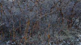 Skura ekar i vinter med den röda laven och snö på jordningen arkivbild