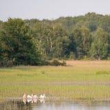 Skvadron av amerikanska vita pelikan som vilar på vattnet under sommaren i området för Crexängdjurliv - främst är våtmarker royaltyfri fotografi