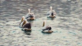 Skvadron av pelikan som söker mat i sjön stock video