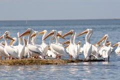 Skvadron av vita pelikan tillsammans på ett stycke av land Royaltyfri Foto