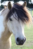 Skwebald Horse. Close up of a skewbald pony head Royalty Free Stock Photography