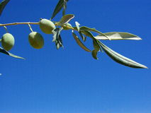 In the sky. September sky in Paphos and the olives enjoying the sunshine Stock Photos
